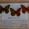 越氏寄贈(雌雄同体のミドリヒョウモン、中央)