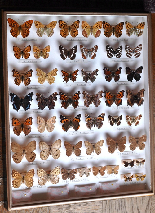 越 秀夫氏寄贈の蝶の標本の一部(タテハチョウの仲間)