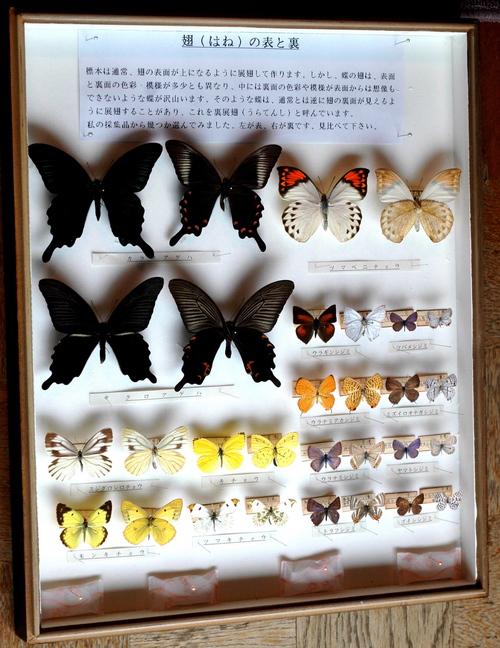 越氏寄贈(蝶の翅の裏と表)