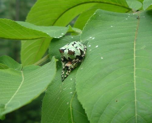 コケオニグモ Araneus seminiger(コガネグモ科)