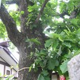 お旅所のナラカシワ(村天然記念物)
