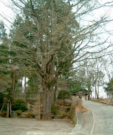 寿徳寺のイチョウ