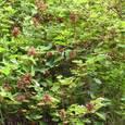 エビガライチゴ(バラ科)キイチゴ属