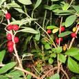 オニシバリ(ジンチョウゲ科)ジンチョウゲ属