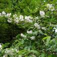 卯の花(ウツギ)(ユキノシタ科)ウツギ属