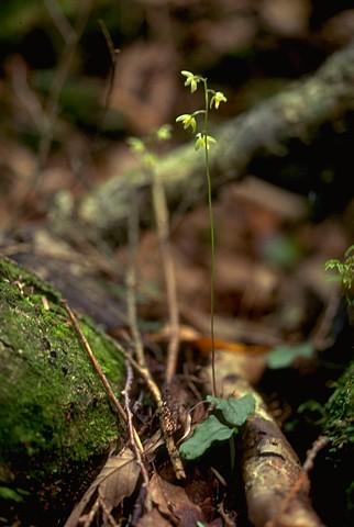 コイチヨウラン(イチヨウラン科)コイチヨウラン属