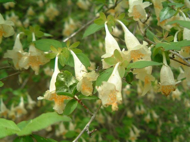 キバナウツギ(スイカズラ科)タニウツギ属
