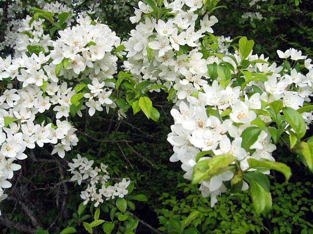 エゾノコリンゴ(バラ科)リンゴ属