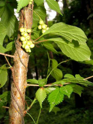 チョウセンゴミシ(マツブサ科)マツブサ属