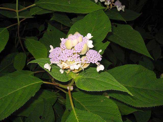 タマアジサイ(ユキノシタ科)アジサイ属
