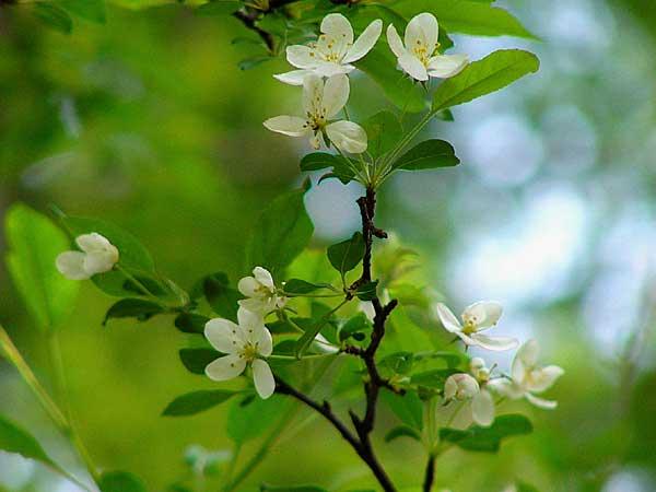 ズミ(バラ科)リンゴ属